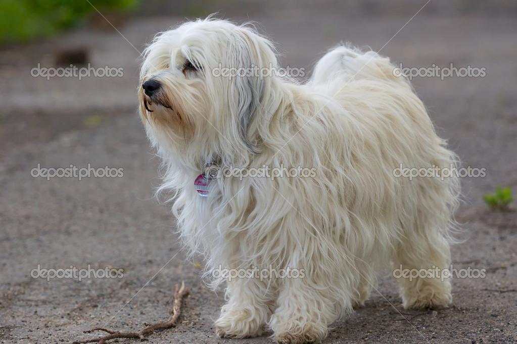 Long hair dog — Stock Photo © buchsammy #34869379