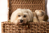 Havanese with teddy bear — Stock Photo