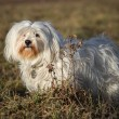 Standing havanese — Stock Photo #37989639