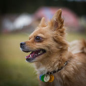 Dog with collar — Stock Photo