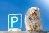 Parking Dog — Stock Photo