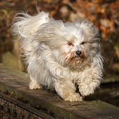Havanese while balancing — Stock Photo