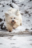Havanese on landing — Stockfoto