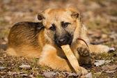 German Shepherd puppy — Stock Photo