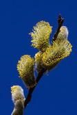 Willow flower — Stock Photo