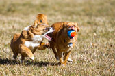 Action Dog with a ball — Stock Photo