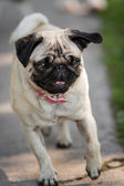 The Pug comes — Stock Photo
