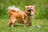 Light brown dog with ball — Stock Photo