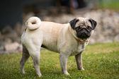 Pug lady — Stock Photo
