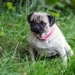 Постер, плакат: Pug in the meadow