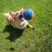 Dog playing at the ball — Stock Photo