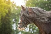 Shire Horse — Stock Photo