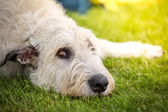 Spreaders look of a Irish Wolfhound — Stock Photo
