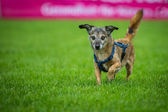 Small mixed breed dog — Stock Photo