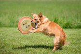 Dog with a Frisbee — Stock Photo