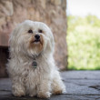 Small white dog — Stock Photo #51641347