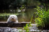 在湖上的狗 — 图库照片
