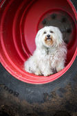 A Havanese sits in the wheel — Stockfoto