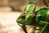 Portret green chameleon on the plante — Stock Photo