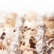 Many fresh speckled quail eggs in cardboard container — Stock Photo