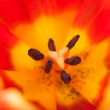 Background bud of red tulip with pistil in close-up — Stock Photo