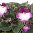 Indoor herb - violet flowers of viola - Stock Photo