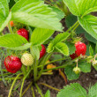 Shrub strawberries with red and green — Stock Photo