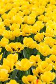 яркие цветущие красочные цветы тюльпаны в саду — Стоковое фото