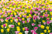 Bright flowering colorful flowers tulips in garden — Stock Photo