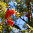 Bunch of rowan on sunny autumn day - Stock Photo