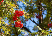 Bunch of rowan on sunny autumn day — Stock Photo
