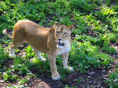 Lion in the city zoo — Stock Photo
