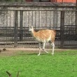 Guanaco in city zoo — Stock Video