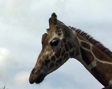 Drie giraffen in stad dierentuin — Stockvideo