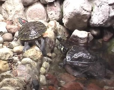 Three terrapins in the city zoo — Stock Video