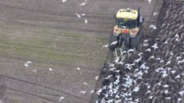 Tractor driver ploughing fields and hungry birds flock together — Stock Video