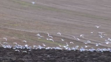 Hungry birds flock together looking for food in freshly ploughed soil — Stock Video