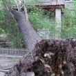 Tree Uprooted After Storm — Stock Photo #23126516