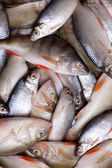 Lots of fresh perch and roac — Stock Photo