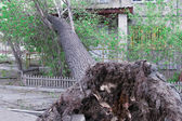 Tree Uprooted After Storm — Stock Photo