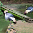 Grey Crowned Crane — Foto Stock #25844835