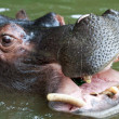Stock Photo: Swimming hippo, close up shot