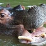 Swimming hippo, close up shot — Stock Photo