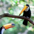 Two brasilia toucan — Stock Photo