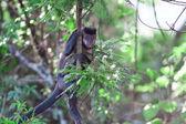 Ape brazil — Stock Photo