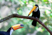 Two brasilia toucan — Stock Photo