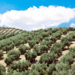 Young olive trees — Stock Photo #32670313
