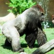 Gorilla — Stock Photo #36484045