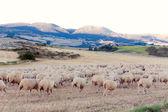 Stado owiec w pirenejach, nawarra, hiszpania — Zdjęcie stockowe
