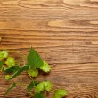 Hop plant on a wooden table - Stock Photo